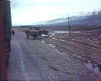 Camels & train nr. Gölbasi, southern Turkey